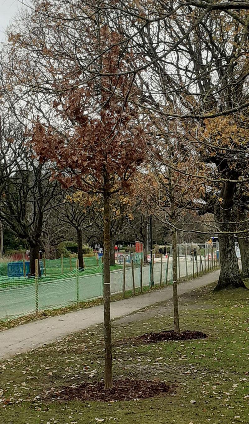 A newly planted oak tree on the carriage drive, November 2020